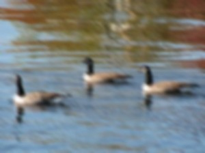 out of focus canadian geese