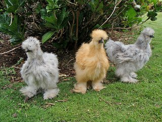 grown up silkies this is Madame Chicklettes future.. hopefully